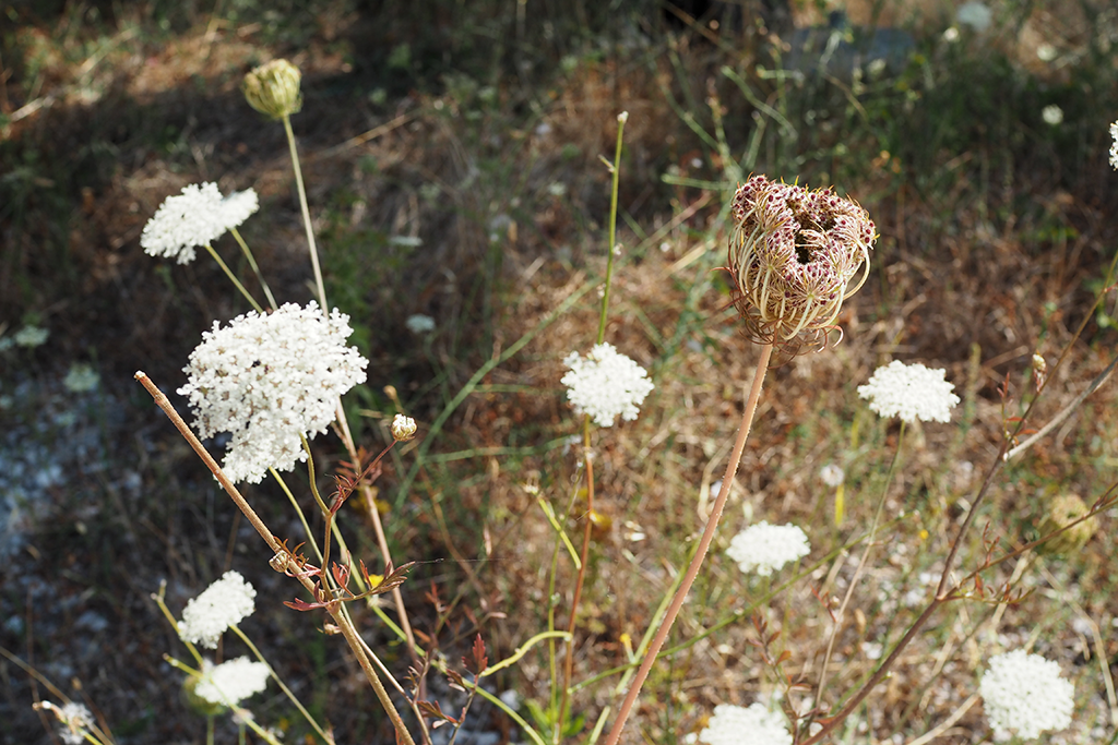 Polkujen varsilla olevia kukkia, Podgora Kroatia