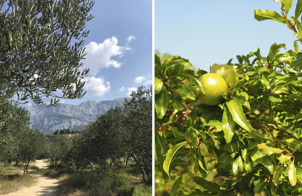 Oliivi- ja sitruunapuita Kroatiassa