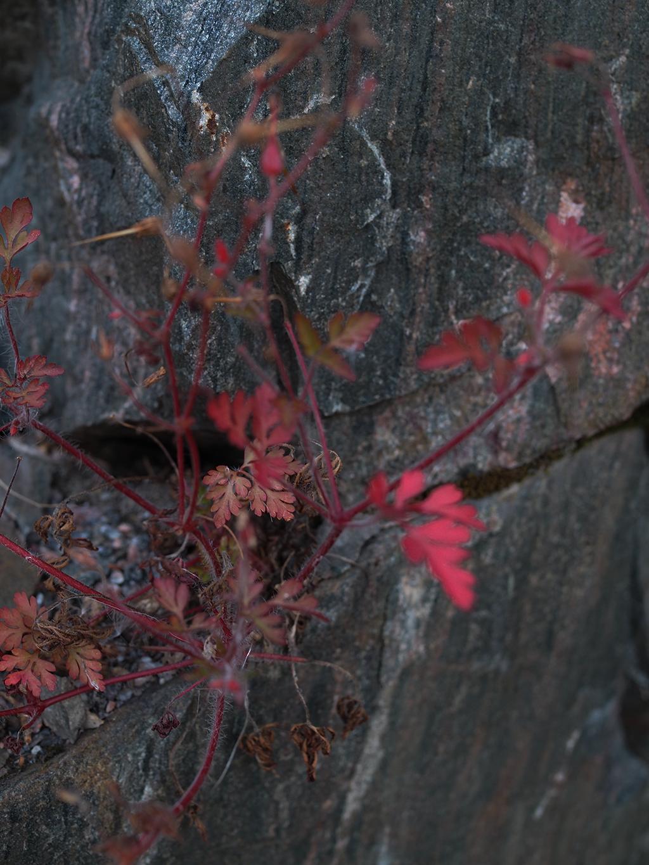 punainen kallion raossa kasvava kasvi