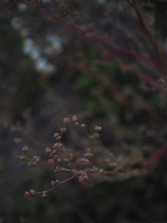 punainen heinäkasvi